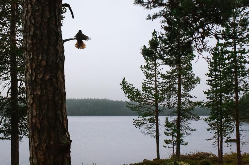 Kuukkeli - Perisoreus infaustus. Rautujärvi.