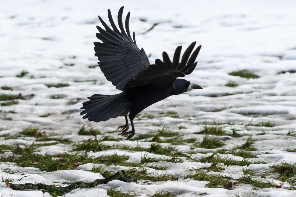 Mustavaris (Corvus frugilegus)