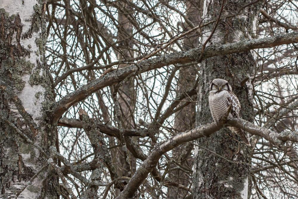Hiiripöllö - Surnia ulula