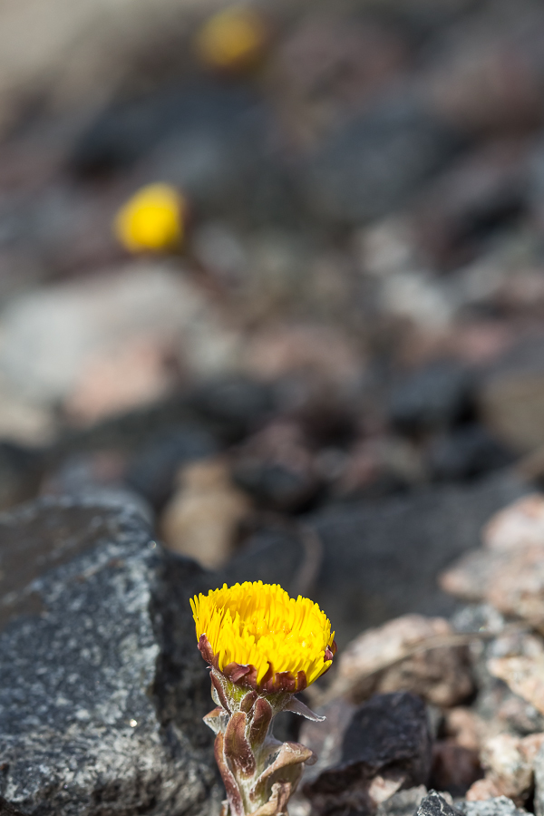 Leskenlehti - Tussilago farfara