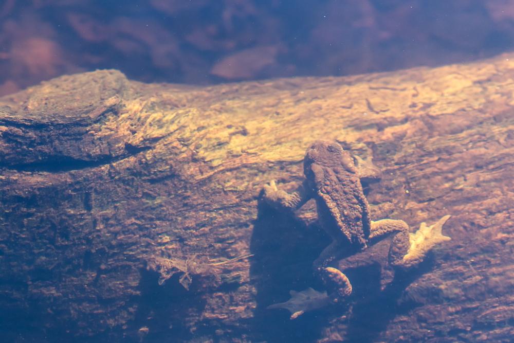 Rupikonna - Bufo bufo. Vedenalaisella puunrungolla.