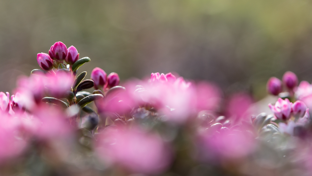 Sielikkö - Loiseleuria procumbens