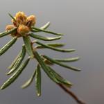 Suopursu - Rhododendron tomentosum