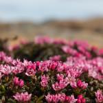 Sielikkö - Kalmia procumbens