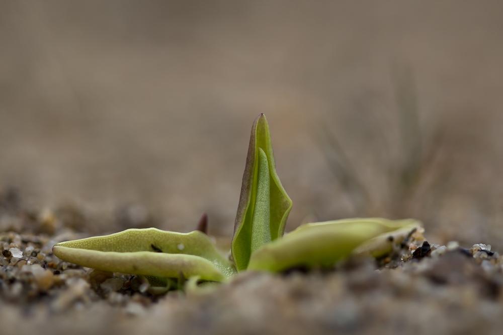 Valkoyökönlehti - Pinguicula alpina