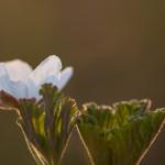 Lakka, hilla, suomuurain - Rubus chamaemorus