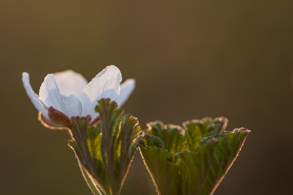 Hilla, lakka, suomuurain - Rubus chamaemorus