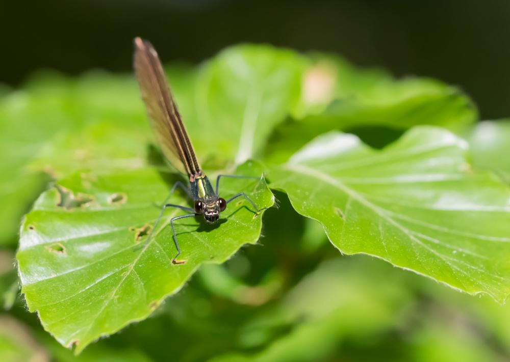 Neidonkorento - Calopteryx virgo, naaras.