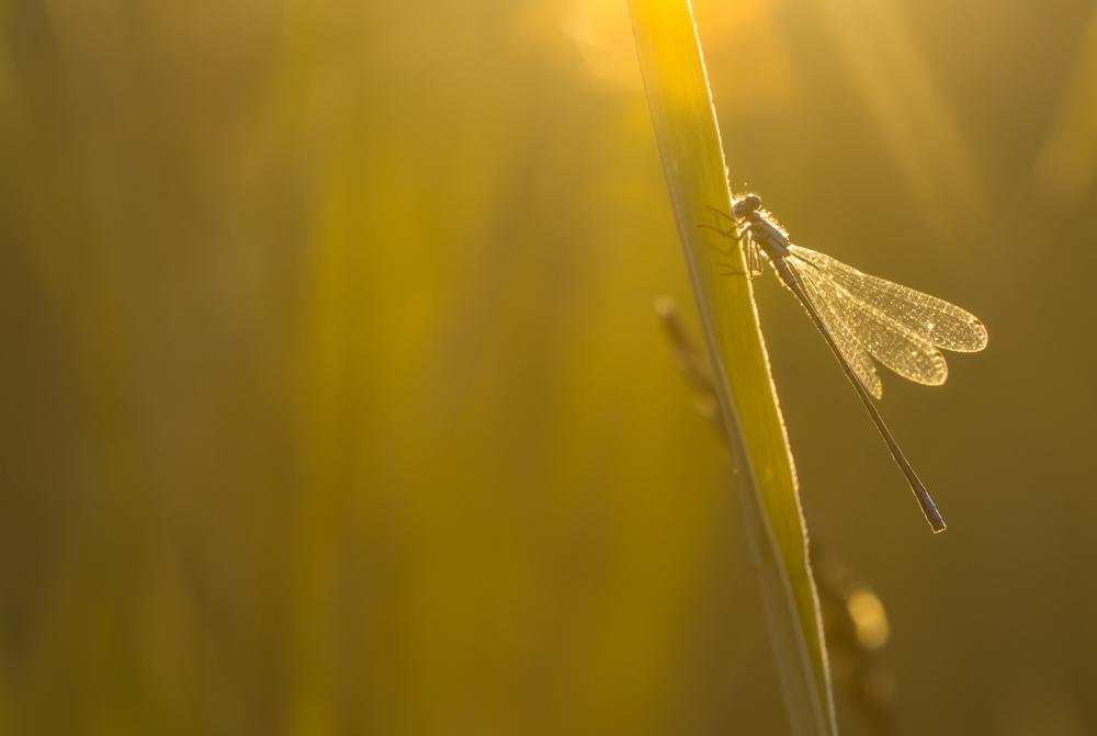 Hoikkatytönkorento - Ischnura elegans