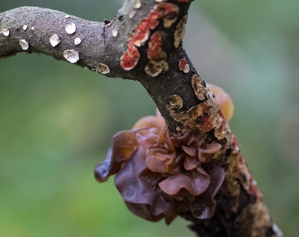 Liuskahytykkä - Tremella foliacea