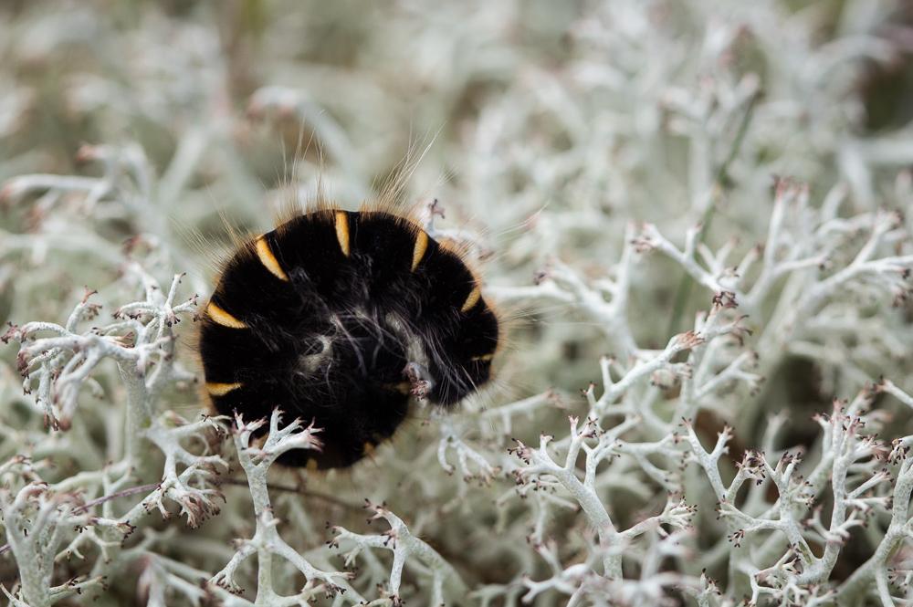 Heinähukan toukka - Macrothylacia rubi