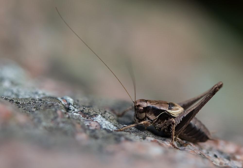 Pensashepokatti - Pholidoptera griseoaptera